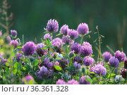 Trifolium pratense. Красный клевер при вечернем освещении. Стоковое фото, фотограф Григорий Писоцкий / Фотобанк Лори