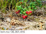Ягоды красной брусники в сосновом лесу в Карелии наливаются вкусом и витаминами. Стоковое фото, фотограф Sergei Gorin / Фотобанк Лори