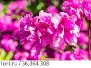 Blüte Rhododendron yedoense - Yodogawa-Azalee. Стоковое фото, фотограф Zoonar.com/mije-shots / easy Fotostock / Фотобанк Лори