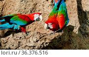 Photo Picture of a Beautiful Colored Tropical Parrot. Стоковое фото, фотограф Zoonar.com/alberto giacomazzi / easy Fotostock / Фотобанк Лори