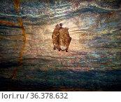 Bats as inhabitants of caves and dungeons. Pond bat (Myotis dasycneme... Стоковое фото, фотограф Zoonar.com/Maximilian Buzun / easy Fotostock / Фотобанк Лори