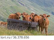 Vier junge braune Kühe verbringen den Sommer auf den Bergwiesen in... Стоковое фото, фотограф Zoonar.com/Christa Eder / easy Fotostock / Фотобанк Лори