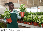 Florist arranging Dieffenbachia Camille in pots. Стоковое фото, фотограф Яков Филимонов / Фотобанк Лори