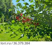 Эритрина петушиный гребень (Erythrina crista-galli) Стоковое фото, фотограф Мария Кылосова / Фотобанк Лори
