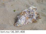 Pazifische Auster auf Sylt. Стоковое фото, фотограф Zoonar.com/Antje Lindert-Rottke / easy Fotostock / Фотобанк Лори