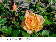 Yellow rose on a bush with unopened buds in the garden in the morning with dew drops. Стоковое фото, фотограф Сергей Фролов / Фотобанк Лори