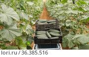 Ripe cucumbers in boxes on shrubs in big hothouse. Стоковое видео, видеограф Яков Филимонов / Фотобанк Лори