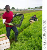 African american horticulturist with freshly harvested mizuna. Стоковое фото, фотограф Яков Филимонов / Фотобанк Лори
