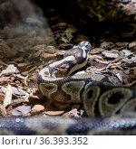 The ball python, Python regius, also known as the royal python. Стоковое фото, фотограф Zoonar.com/Matej Kastelic / easy Fotostock / Фотобанк Лори
