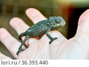 Chameleon on hand, beautiful photo digital picture. Стоковое фото, фотограф Zoonar.com/alberto giacomazzi / easy Fotostock / Фотобанк Лори