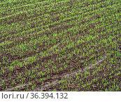 Field of ripening wheat corn. Стоковое фото, фотограф Zoonar.com/Roman Milert / easy Fotostock / Фотобанк Лори
