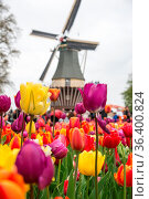 Beautiful landscape of tulips and windmill in Holland. Стоковое фото, фотограф Zoonar.com/Yuri Dmitrienko / easy Fotostock / Фотобанк Лори