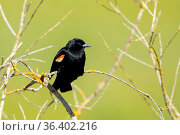 A red winged blackbird perched on a twig in Hauser, Idaho. Стоковое фото, фотограф Zoonar.com/Gregory Johnston / easy Fotostock / Фотобанк Лори