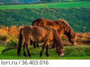 Wild Exmoor Ponies, seen on Porlock Hill in Somerset, England, UK. Стоковое фото, фотограф Zoonar.com/Bernd Brueggemann / easy Fotostock / Фотобанк Лори