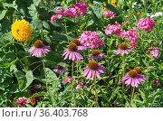 Эхинацея пурпурная (лат. Echinacea purpurea) цветет на клумбе среди садовых цветов. Стоковое фото, фотограф Елена Коромыслова / Фотобанк Лори