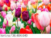 Beautiful field of colorful tulips. Tulips in spring. Стоковое фото, фотограф Zoonar.com/Yuri Dmitrienko / easy Fotostock / Фотобанк Лори