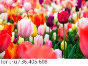 Beautiful colorful tulips in the garden. Netherlands. Стоковое фото, фотограф Zoonar.com/Yuri Dmitrienko / easy Fotostock / Фотобанк Лори