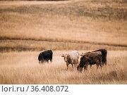 Udabno, Kakheti Region, Georgia. Cows Eating Grass In Autumn Pasture... Стоковое фото, фотограф Ryhor Bruyeu / easy Fotostock / Фотобанк Лори