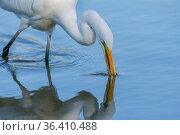 Great egret (Ardea alba) feeding, Gilbert Riparian Preserve, Arizona, USA, March. Стоковое фото, фотограф Jack Dykinga / Nature Picture Library / Фотобанк Лори