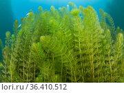 European watermilfoil (Myriophyllum spicatum), Sion, Valais canton, southwestern Switzerland. Стоковое фото, фотограф Franco Banfi / Nature Picture Library / Фотобанк Лори