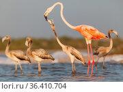 Caribbean flamingo (Phoenicopterus ruber) juvenile begging, Ria Lagartos Biosphere Reserve, Yucatan Peninsula, Mexico, September. Стоковое фото, фотограф Claudio Contreras / Nature Picture Library / Фотобанк Лори