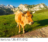Asturian Mountain cattle cow sits on the lawn in a national park at sunrise. Стоковое фото, фотограф Татьяна Яцевич / Фотобанк Лори