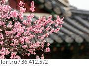 Cherry blossoms in a garden at Seoul, South Korea. Стоковое фото, фотограф Marquicio Pagola / age Fotostock / Фотобанк Лори