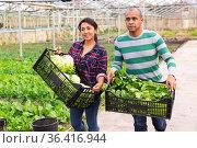 Farmer couple holding crates with lettuce and celery. Стоковое фото, фотограф Яков Филимонов / Фотобанк Лори