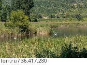 The white swans (Cygnus) swimming in the lake close-up. Стоковое фото, фотограф Татьяна Ляпи / Фотобанк Лори