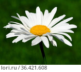 Sommer Margerite, Leucanthemum, maximum. Стоковое фото, фотограф Zoonar.com/Manfred Ruckszio / easy Fotostock / Фотобанк Лори