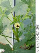 Абельмош съедобный, или бамия (лат. Abelmoschus esculentus) цветет и плодоносит в теплице. Стоковое фото, фотограф Елена Коромыслова / Фотобанк Лори