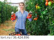 Female horticulturist happy with crop of plum tomatoes in hothouse. Стоковое фото, фотограф Яков Филимонов / Фотобанк Лори