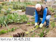 Aged gardener cultivating vegetables. Стоковое фото, фотограф Яков Филимонов / Фотобанк Лори