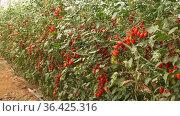 Ripe red cherry tomatoes grow on branches in farm greenhouse. Стоковое видео, видеограф Яков Филимонов / Фотобанк Лори