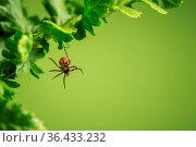 Wood tick hangs on a leaf. Green background. Стоковое фото, фотограф Zoonar.com/Petr Svoboda / easy Fotostock / Фотобанк Лори