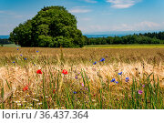 Beautiful flowers and grain fields with bees and insects on Lake Constance... Стоковое фото, фотограф Zoonar.com/MindScape Photography - Michael Pedrott / easy Fotostock / Фотобанк Лори