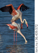 Greater flamingo (Phoenicopterus roseus) pair mating,  Camargue, France... Стоковое фото, фотограф Loic Poidevin / Nature Picture Library / Фотобанк Лори