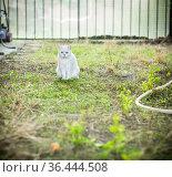 Scottish cat chinchilla with straight ears walks on outdoors. Стоковое фото, фотограф Peredniankina / Фотобанк Лори