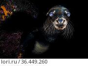 Sea lion pup (Zalophus californianus) portrait. Los Islotes, La Paz, Baja California Sur, Mexico. Sea of Cortez, Gulf of California, East Pacific Ocean. Стоковое фото, фотограф Alex Mustard / Nature Picture Library / Фотобанк Лори