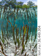 Tape seagrass (Enhalus acoroides) growing in shallow water and reflected in the surface of shallow water, beneath mangrove trees. Yanggefo Island, Gam... Стоковое фото, фотограф Alex Mustard / Nature Picture Library / Фотобанк Лори