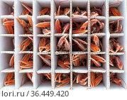 Catch of Norway lobster / Langoustine ( Nephrops norvegicus) packed into individual containers, photographed on a fishing boat. Kinlochbervie, Sutherland... Стоковое фото, фотограф Alex Mustard / Nature Picture Library / Фотобанк Лори