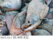 Group of dead Sockeye salmon (Oncorhynchus nerka) washed up alongside their spawning river. Salmon die after spawning, but the nutrient boost provided... Стоковое фото, фотограф Alex Mustard / Nature Picture Library / Фотобанк Лори