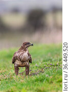 Common buzzard (Buteo buteo) on ground, Castell-y-bwch, Newport, South Wales, UK. October. Стоковое фото, фотограф David Pike / Nature Picture Library / Фотобанк Лори