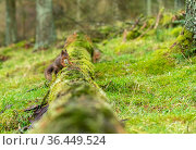 Red squirrel (Sciurus vulgaris) on mossy fallen tree, Hawes, Yorkshire, England, UK, December. Стоковое фото, фотограф David Pike / Nature Picture Library / Фотобанк Лори