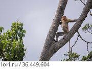 Proboscis monkey (Nasalis larvatus) male in tree, Sabah, Malaysian Borneo. Стоковое фото, фотограф Ben Cranke / Nature Picture Library / Фотобанк Лори