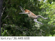 Proboscis monkey (Nasalis larvatus) male leaps between trees. Sabah, Malaysian Borneo. Стоковое фото, фотограф Ben Cranke / Nature Picture Library / Фотобанк Лори