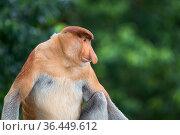 Proboscis monkey (Nasalis larvatus) male, Sabah, Malaysian Borneo. Стоковое фото, фотограф Ben Cranke / Nature Picture Library / Фотобанк Лори