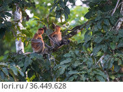 Proboscis monkeys (Nasalis larvatus) females rest together. Sabah, Malaysian Borneo. Стоковое фото, фотограф Ben Cranke / Nature Picture Library / Фотобанк Лори