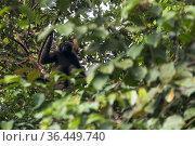 Bornean gibbon (Hylobates muelleri) resting, Sabah, Malaysian Borneo. Стоковое фото, фотограф Ben Cranke / Nature Picture Library / Фотобанк Лори
