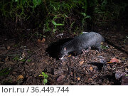 Otter civet (Cynogale bennettii) walkings along a forest trail. Sabah, Malaysian Borneo. Стоковое фото, фотограф Ben Cranke / Nature Picture Library / Фотобанк Лори